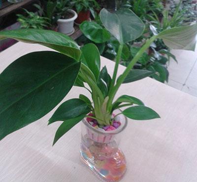 水培植物(金钻)
