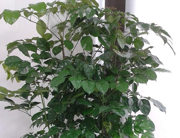 绿宝-常绿植物