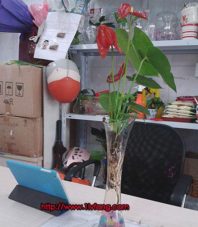 放在电脑桌的水培红掌(高颈细瓶+红掌)