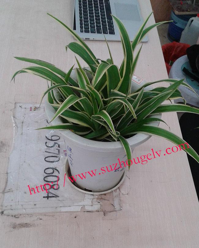 家庭室内绿化组合(大绿萝+吊兰+常青藤+幸福树+芦荟)